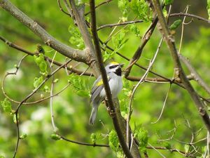The Allegheny Highlands is a stronghold for this increasingly rare songbird species.