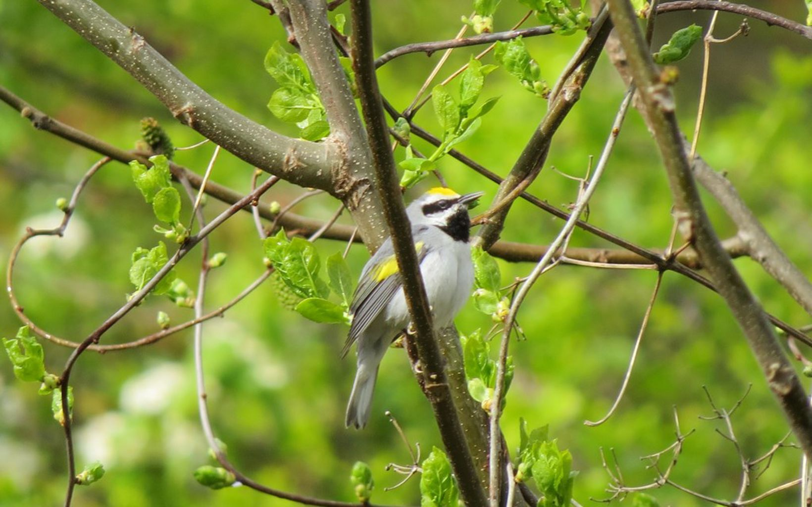 A gray and white bird with a golden cap and yellow flecks on its wings sits perched on a tree branch.