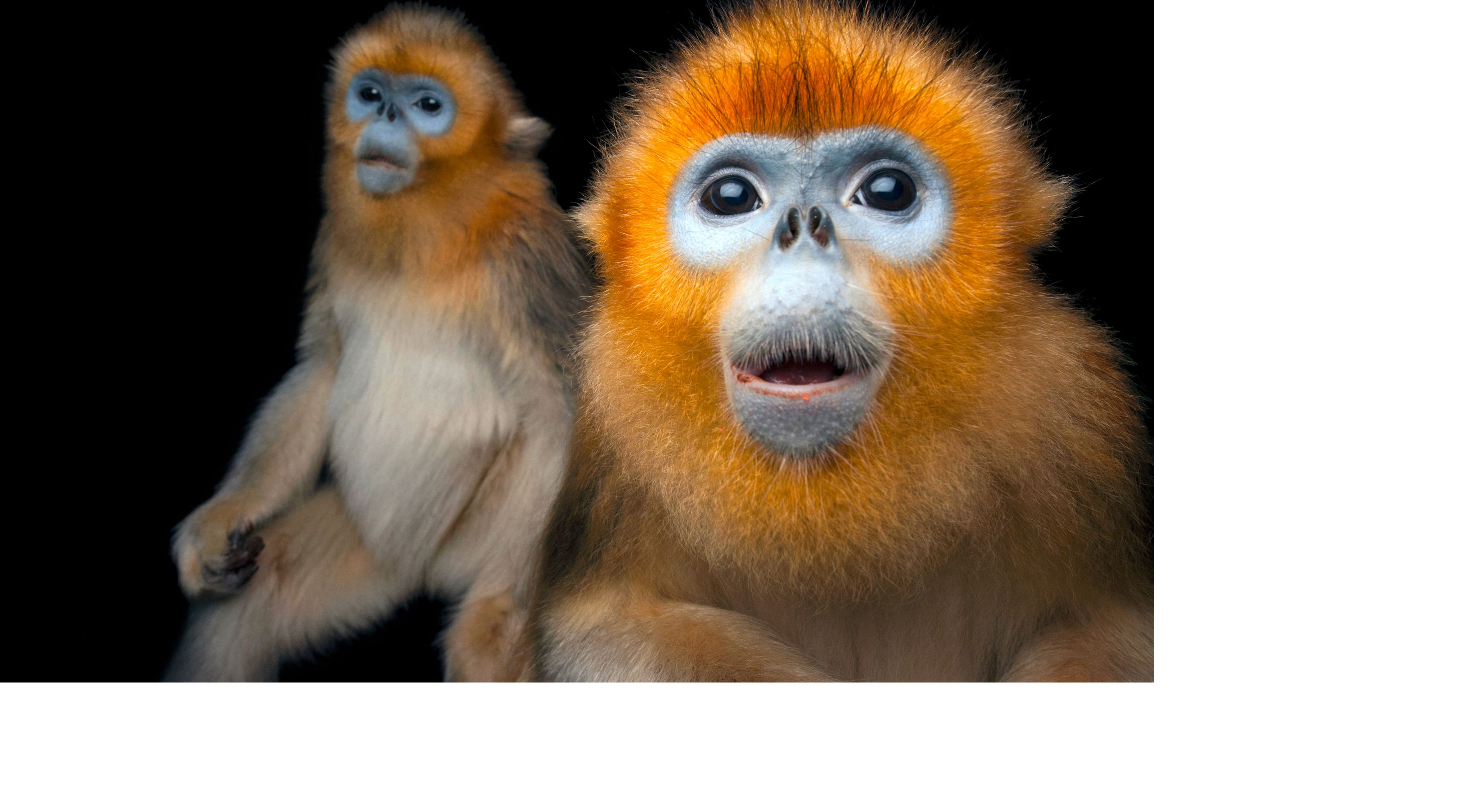 Two Golden snub-nosed monkeys, Rhinopithecus roxellana, at Ocean Park Hong Kong. Part of the National Geographic Photo Ark, natgeophotoark.org.