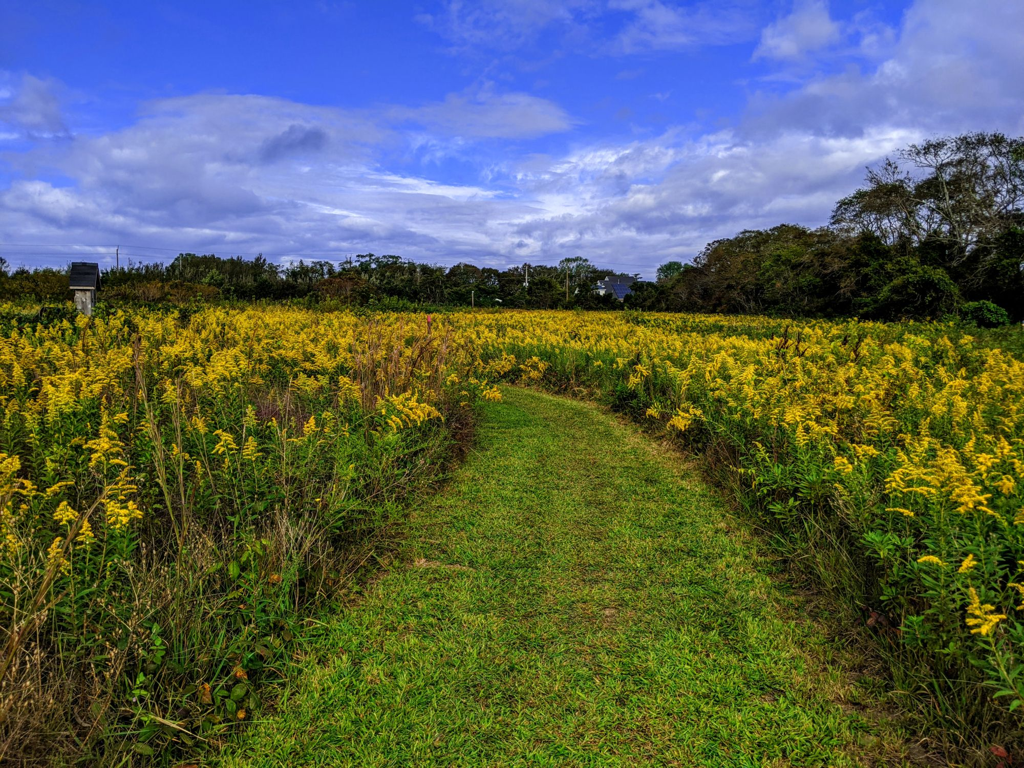 Nature trail through goldenrod field.