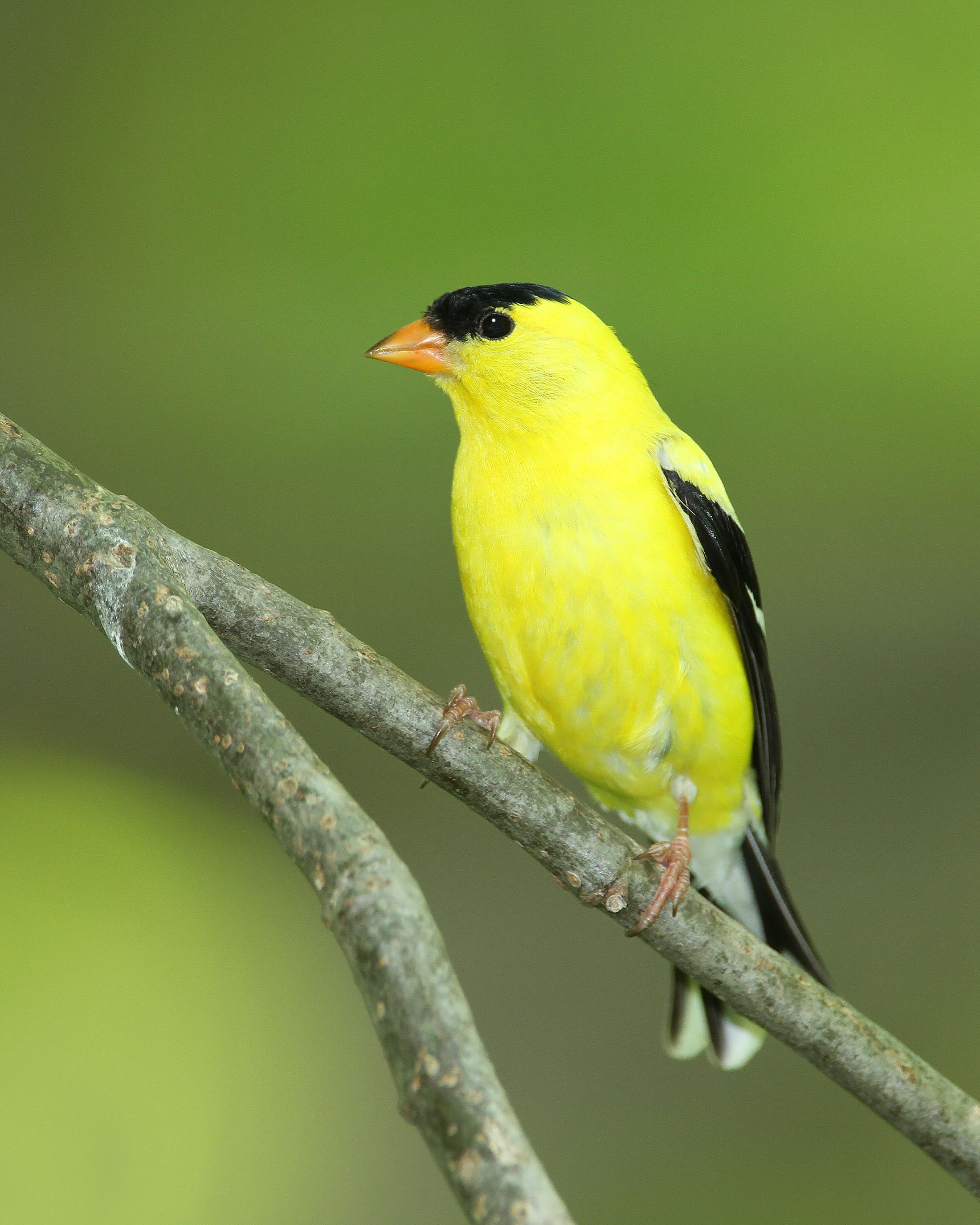 A bright yellow American goldfinch resting on a tree branch.