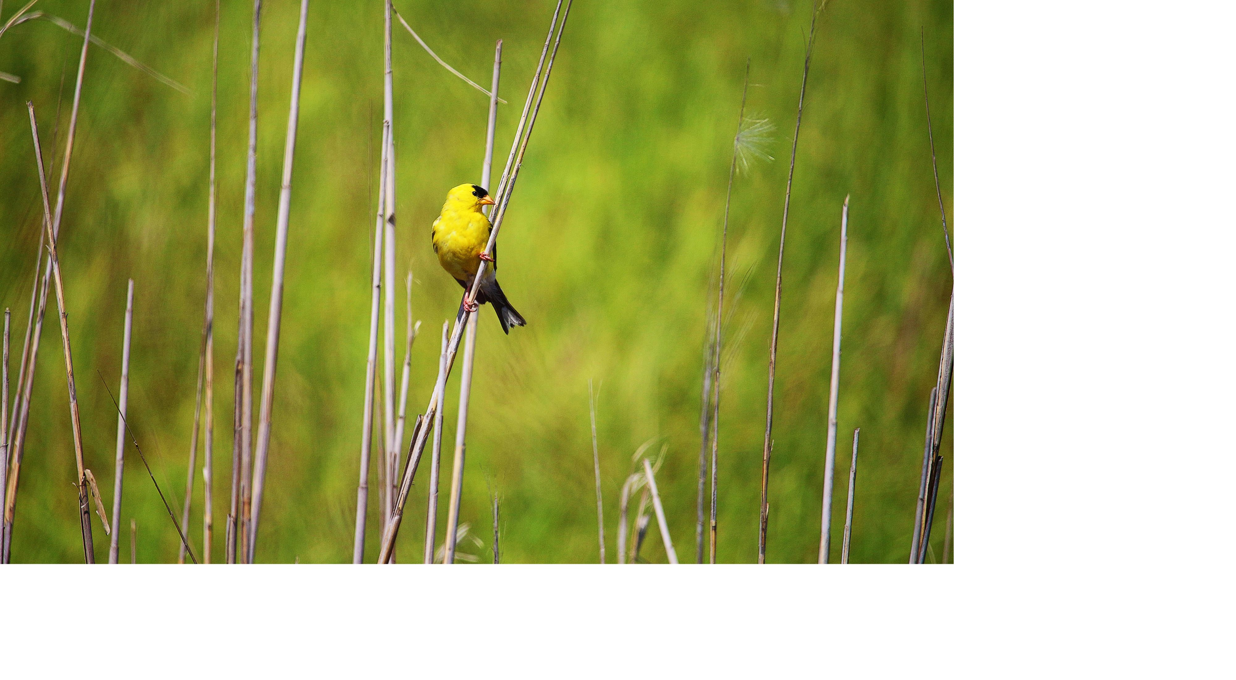 American goldfinch perches on marsh grass.