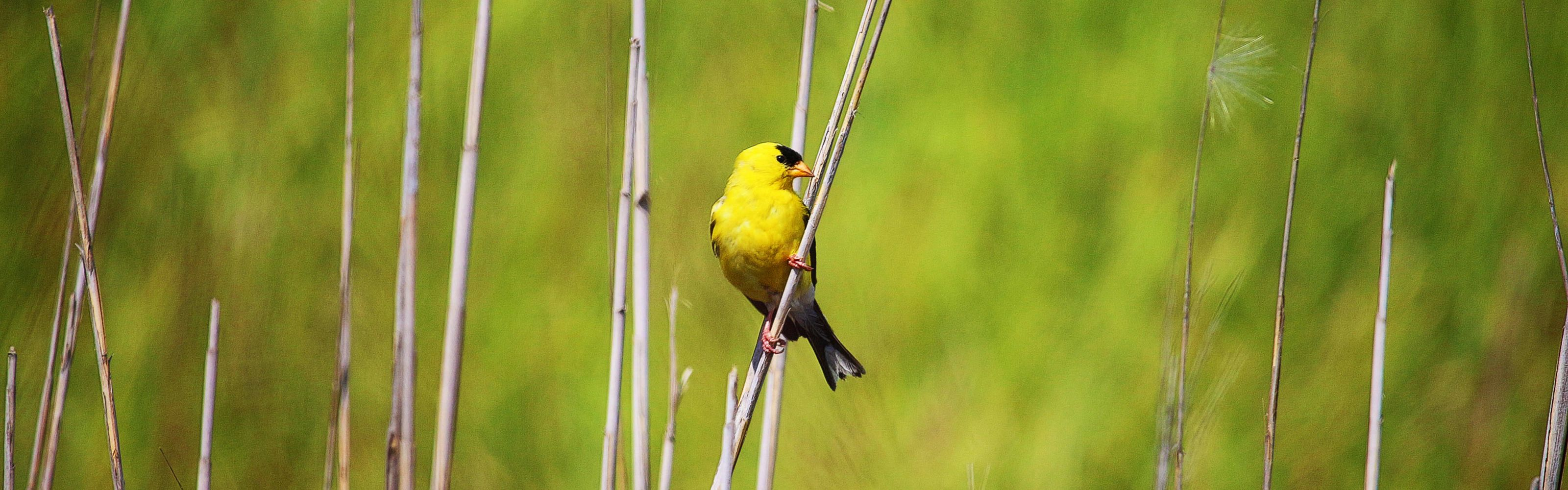 A yellow bird with a black face perches on a slender stalk of dry marsh grass.