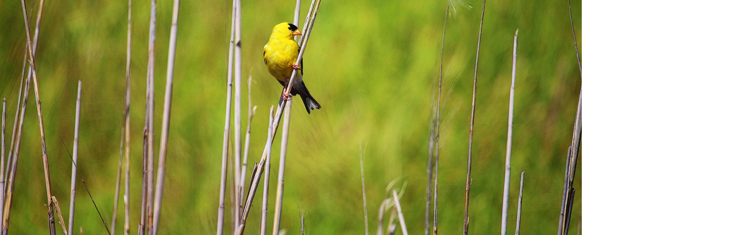 American Goldfinch at Bombay Hook National Wildlife Refuge in Kent County, Delaware.