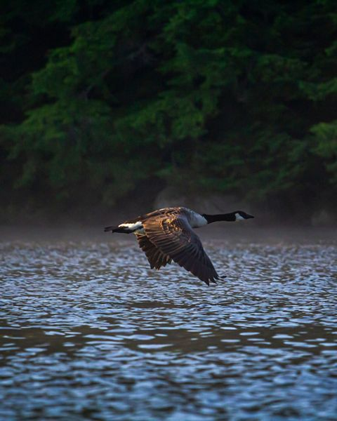 A goose flies low over a blue rippled lake.