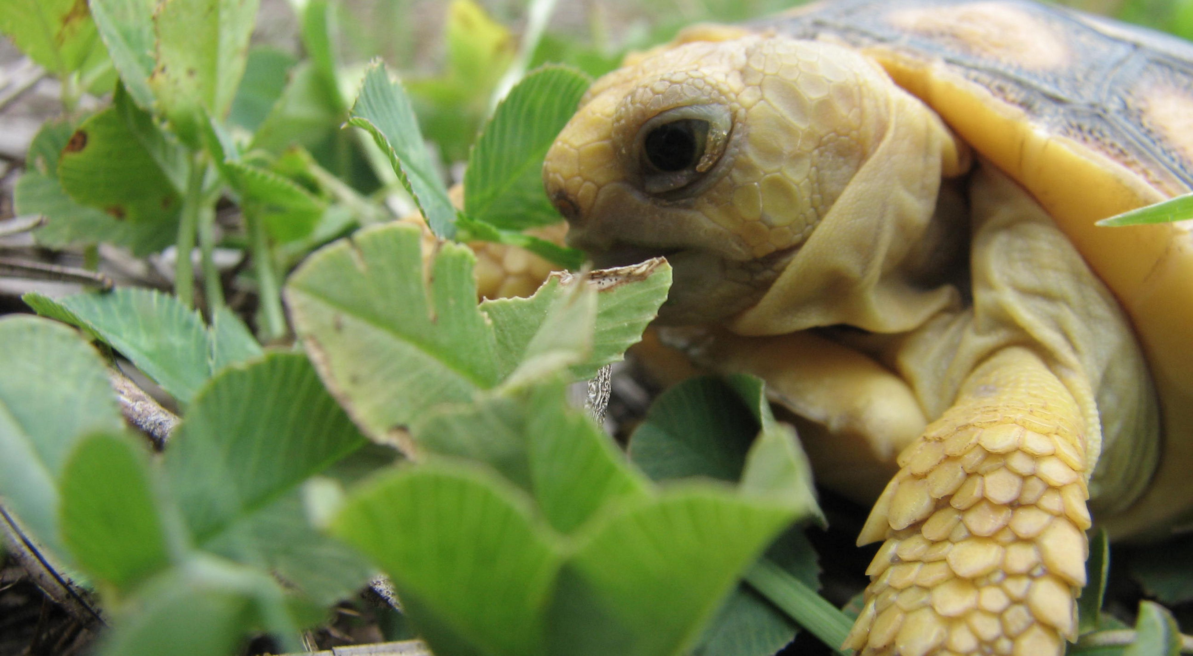 Gopher tortoise hatchling