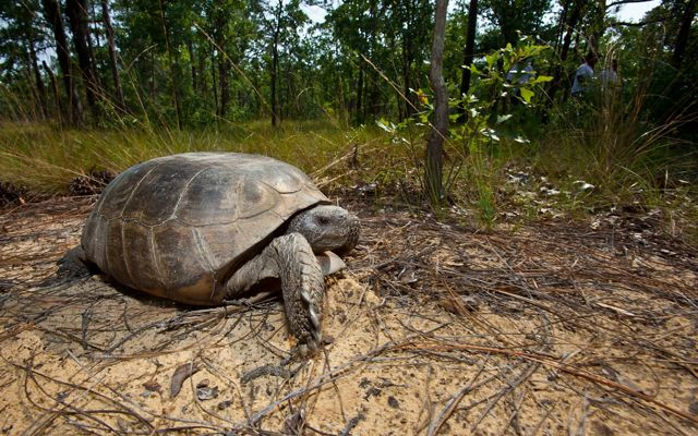 A gopher tortoise on a sandy forest floor with pine trees in the background.