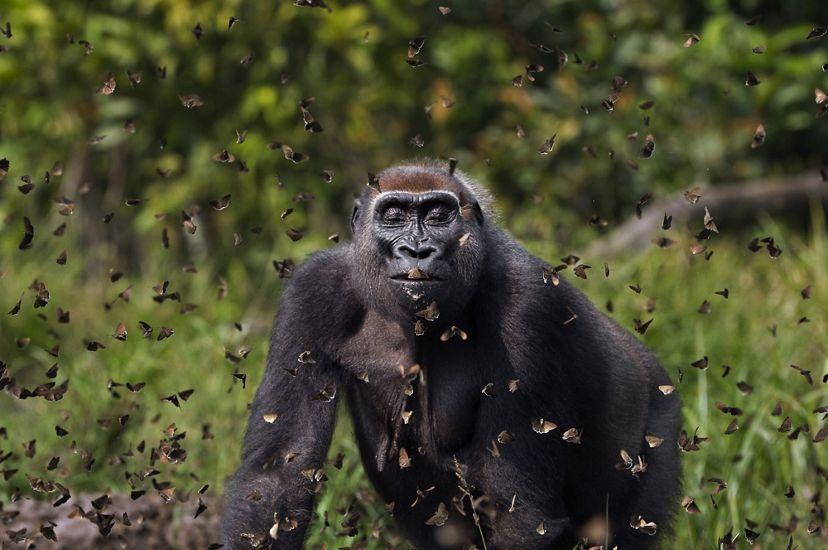 在中非共和國贊加桑加特別森林保護區內的Bai Hokou研究中心,西部低地大猩猩Malui走進了蝴蝶群中。