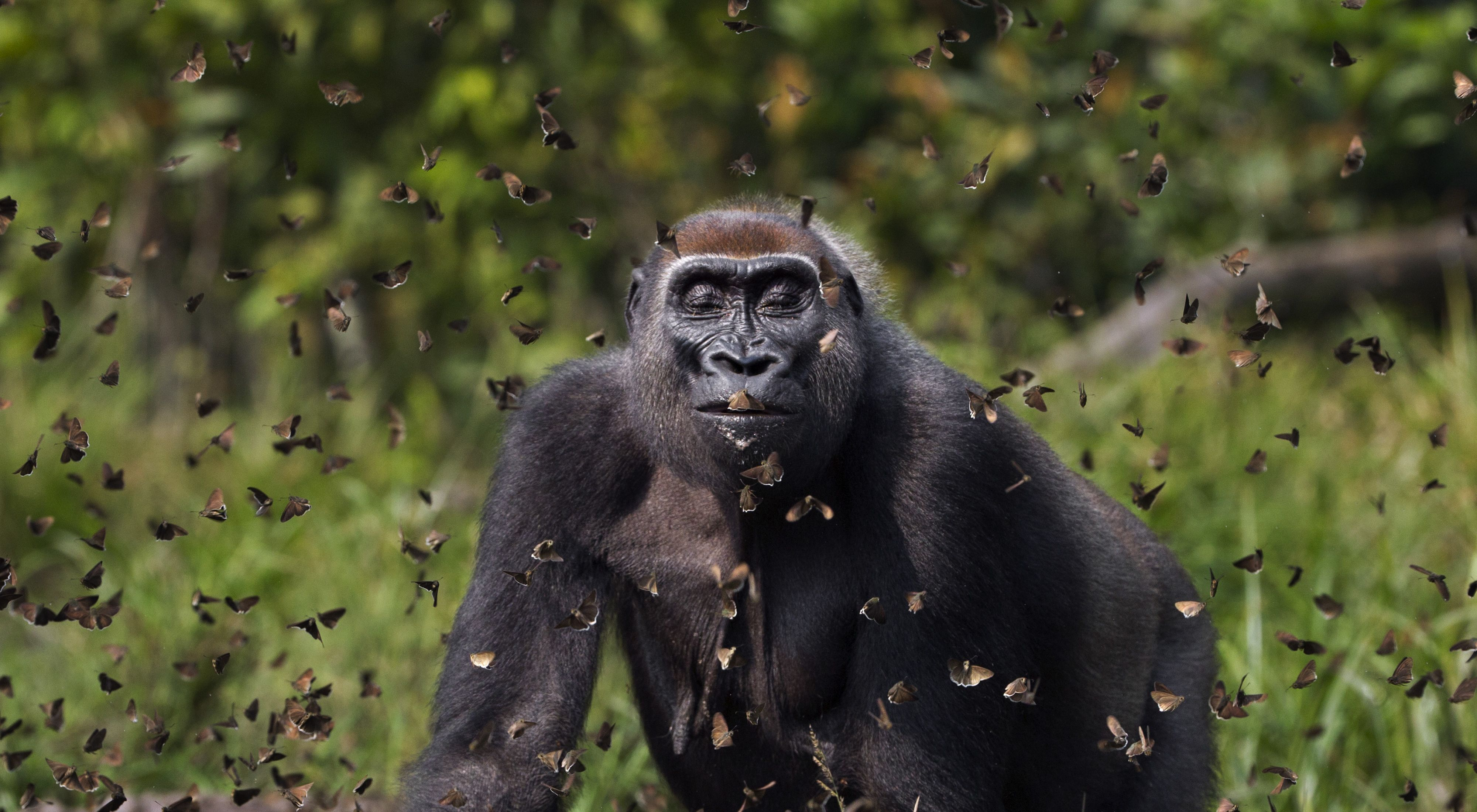 Western lowland gorilla with butterflies in face