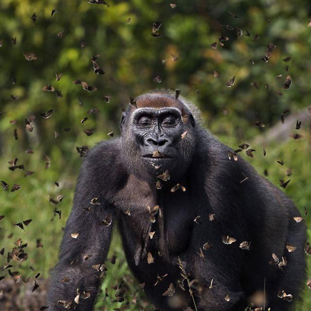 un gorila mira de frente mientras es rodeado por decenas de mariposas