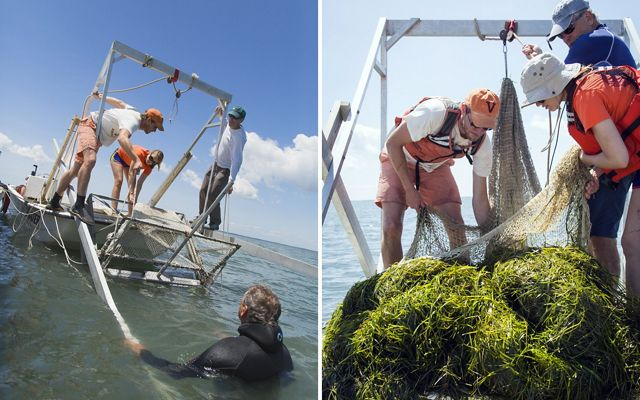 Staff and volunteers from VIMS collect eelgrass trimmings with a boat-mounted mower. The process is similar to mowing a lawn; the eelgrass will soon grow back.