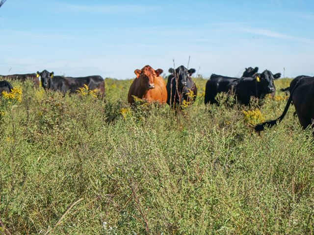 Cattle standing in a field of native vegetation.