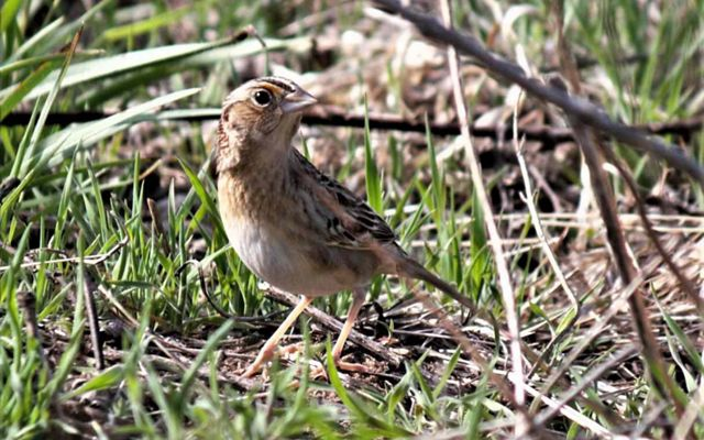 Small brownish bird stands on the ground.