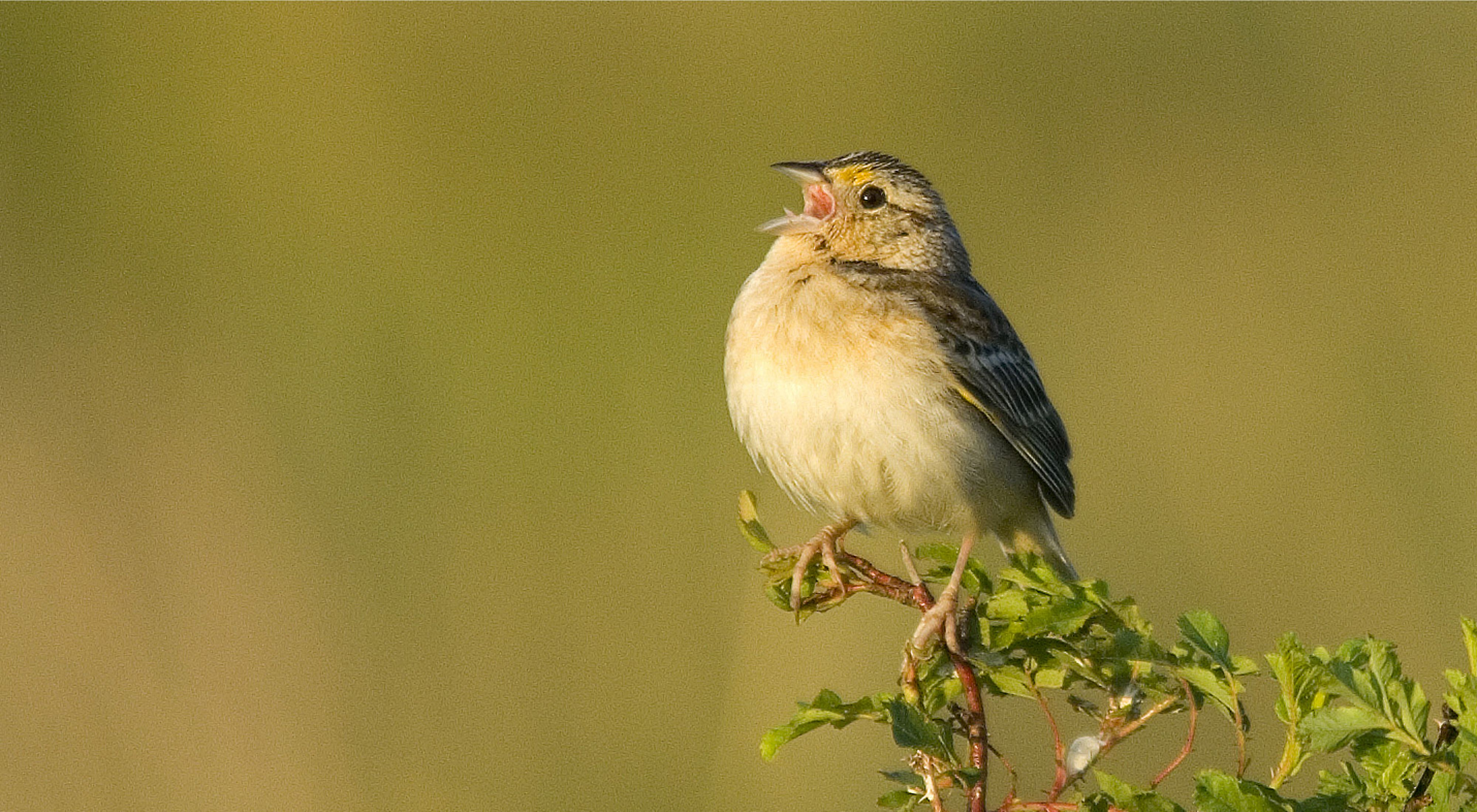 (ALL RIGHTS, ALL USES) A grasshopper sparrow (Ammodramus savannarum) enjoys the results of a high-diversity prairie restoration carried out at The Nature Conservancy's Dahms Tract near Wood River, Nebraska. PHOTO CREDIT: ©Chris Helzer/TNC