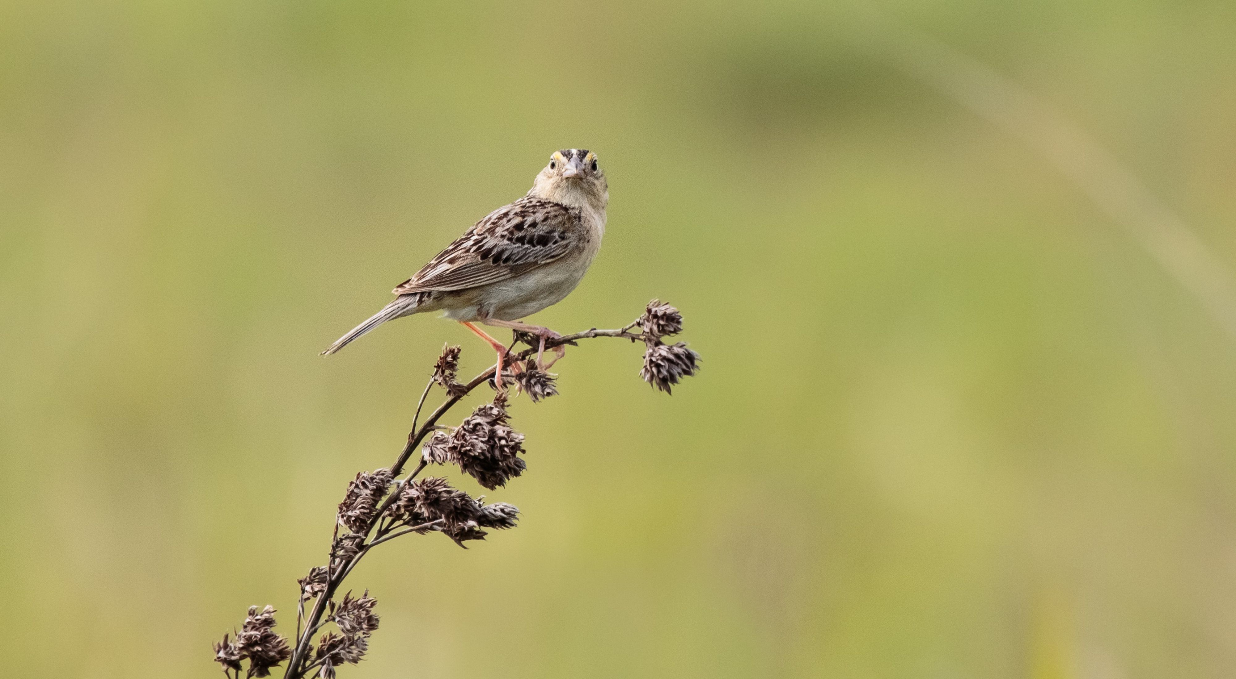 Small brownish bird perched on prairie plant.