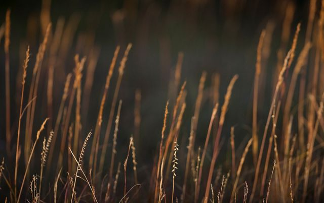 Prairie grass at sunset.
