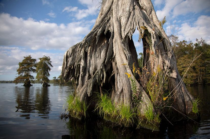 Close up view of pale gray cypress tree knees in the brown water of Lake Drummond.