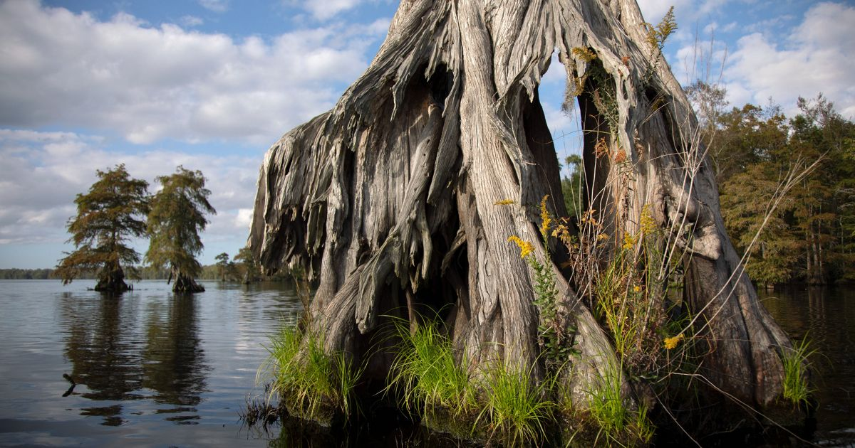 Bald cypress trees rise up from the tannin stained waters of Lake Drummond.
