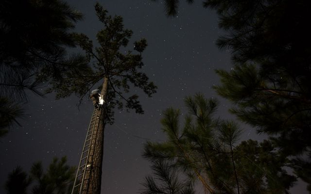 A man standing on a tall ladder uses a headlamp to light a nest cavity in a pine tree. The dark night sky is full of stars.