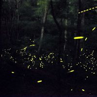 Photinus carolinus, North America's best-known synchronous firefly species, can be found in the Great Smoky Mountains each summer.