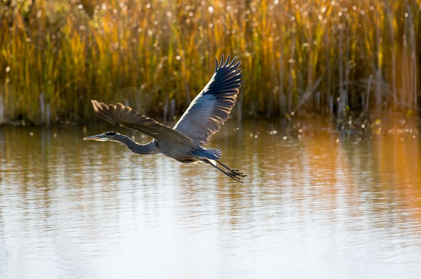 A blue heron glides above a wetland near the Detroit River. A jogger runs along a path in the background.