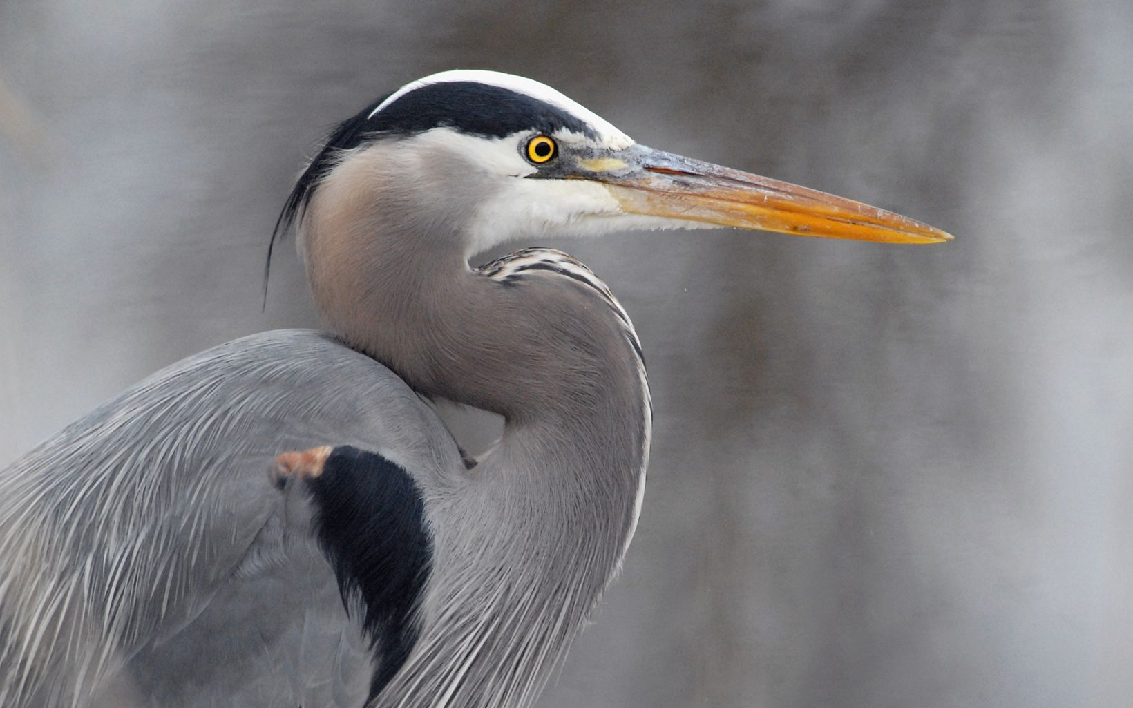 The head of great blue heron taken from the side