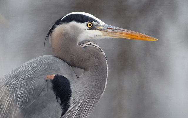 Beautiful Great Blue Heron showing the contrast of the orange beak, white face and dark gray stripe above the eye.