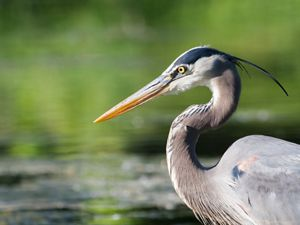 A great blue heron is standing in a body of water.