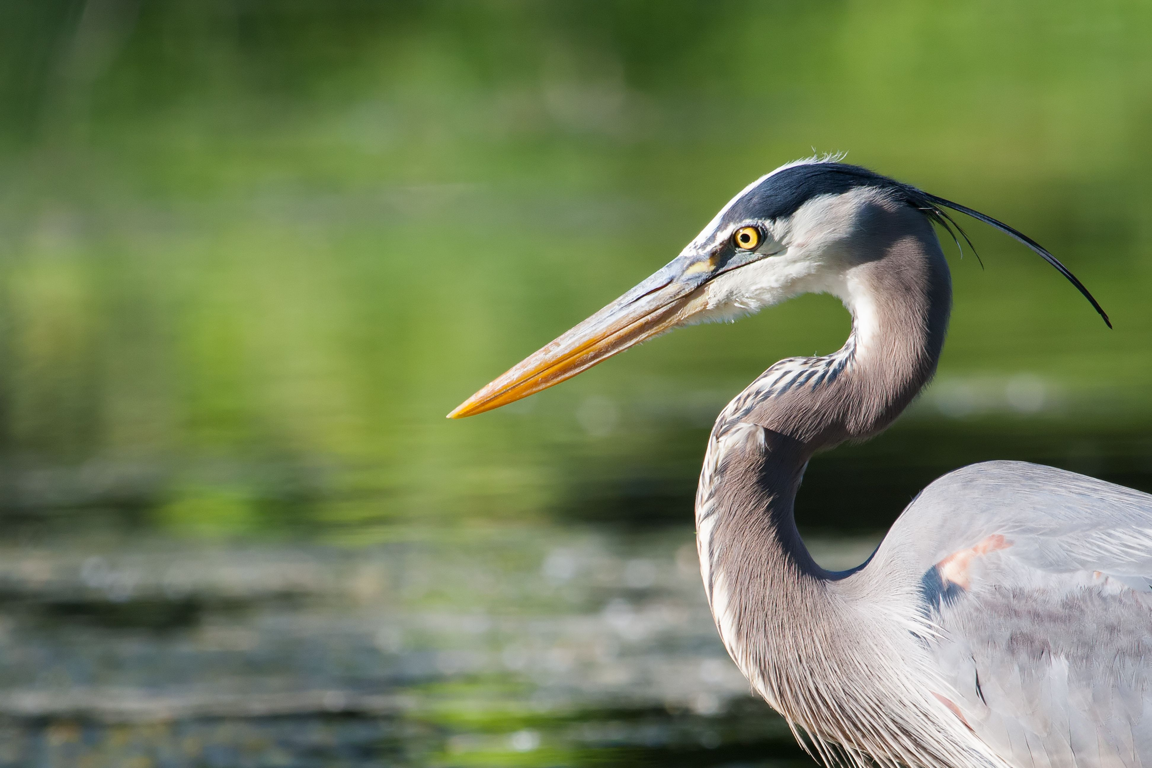 A great blue heron standing in a still pond.