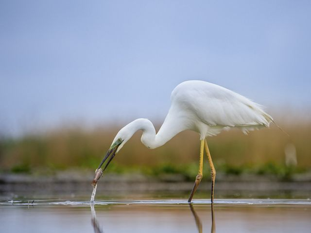 A Great egret hunting in shallow water. A large white bird with yellow legs wades in shallow water using its long narrow beak to spear fish. Tall marsh grasses line the horizon behind it.