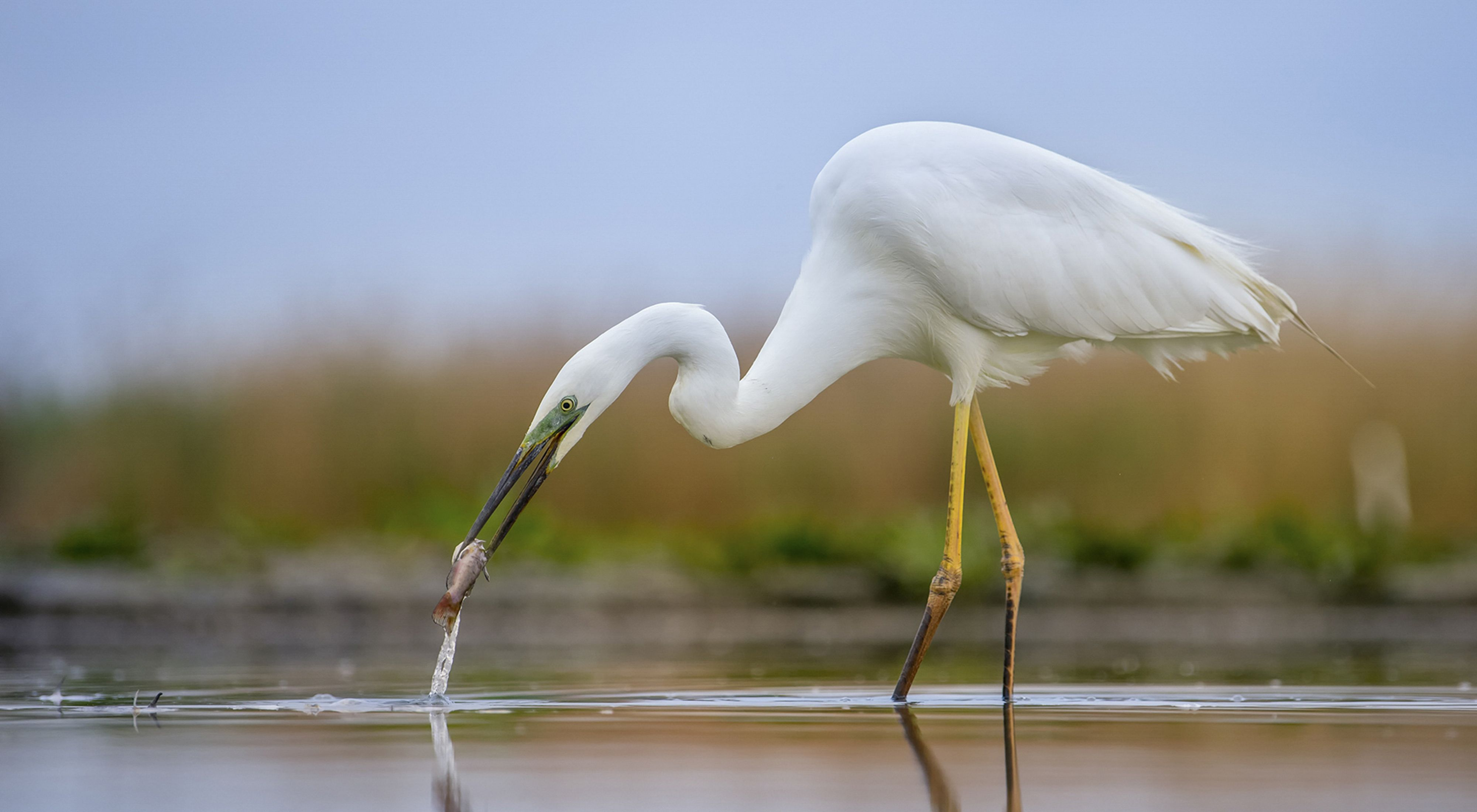 A great egret is fishing in a freshwater pond.