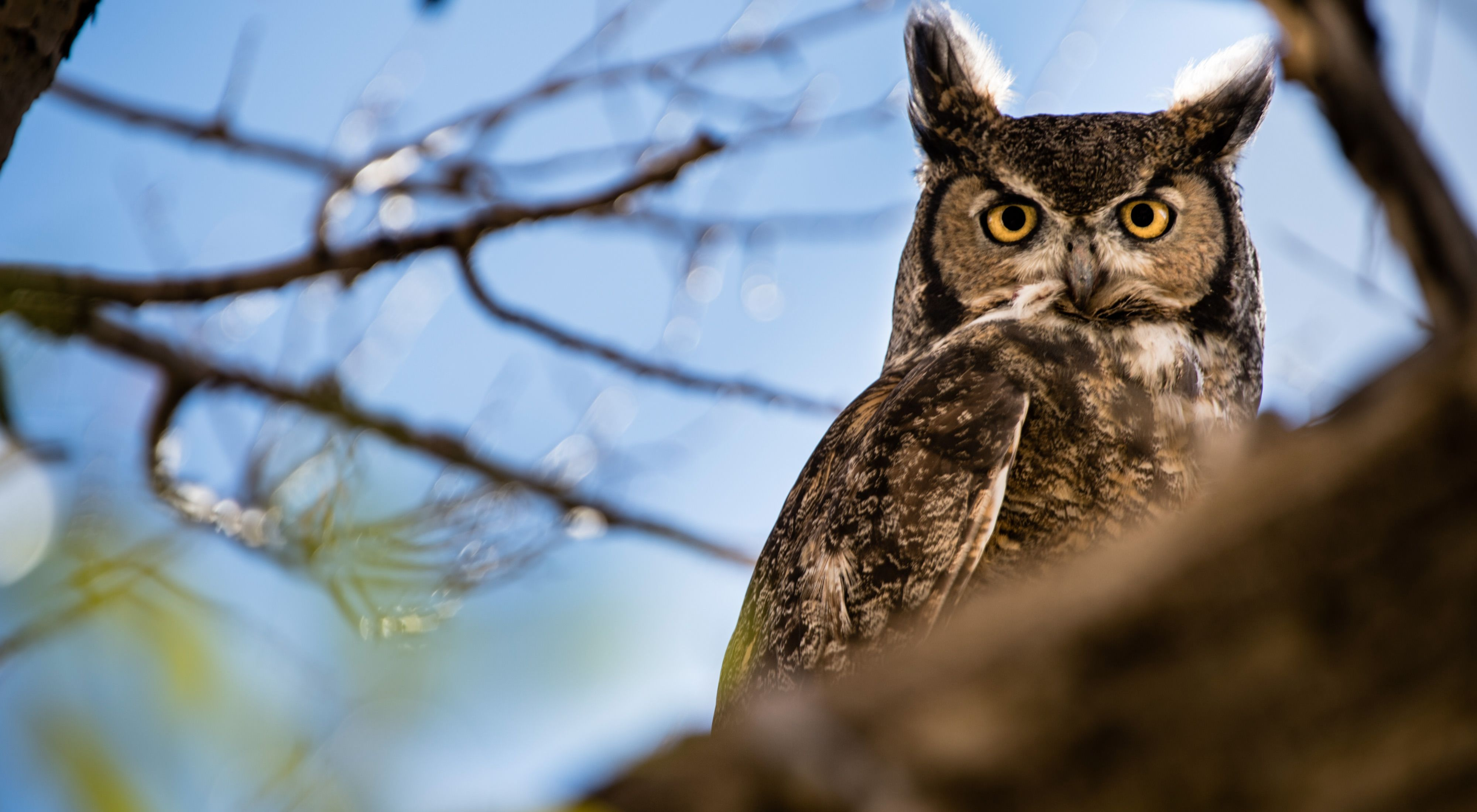 A great horned owl sitting on a tree branch.