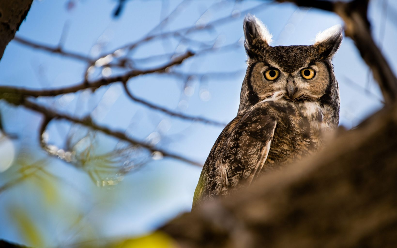 Great horned owls defy winter, beginning their courting in December and usually nesting by February.