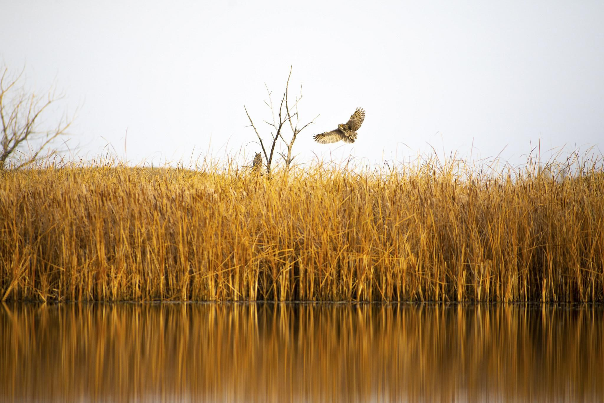A great horned owl is flying above tall marsh grasses.