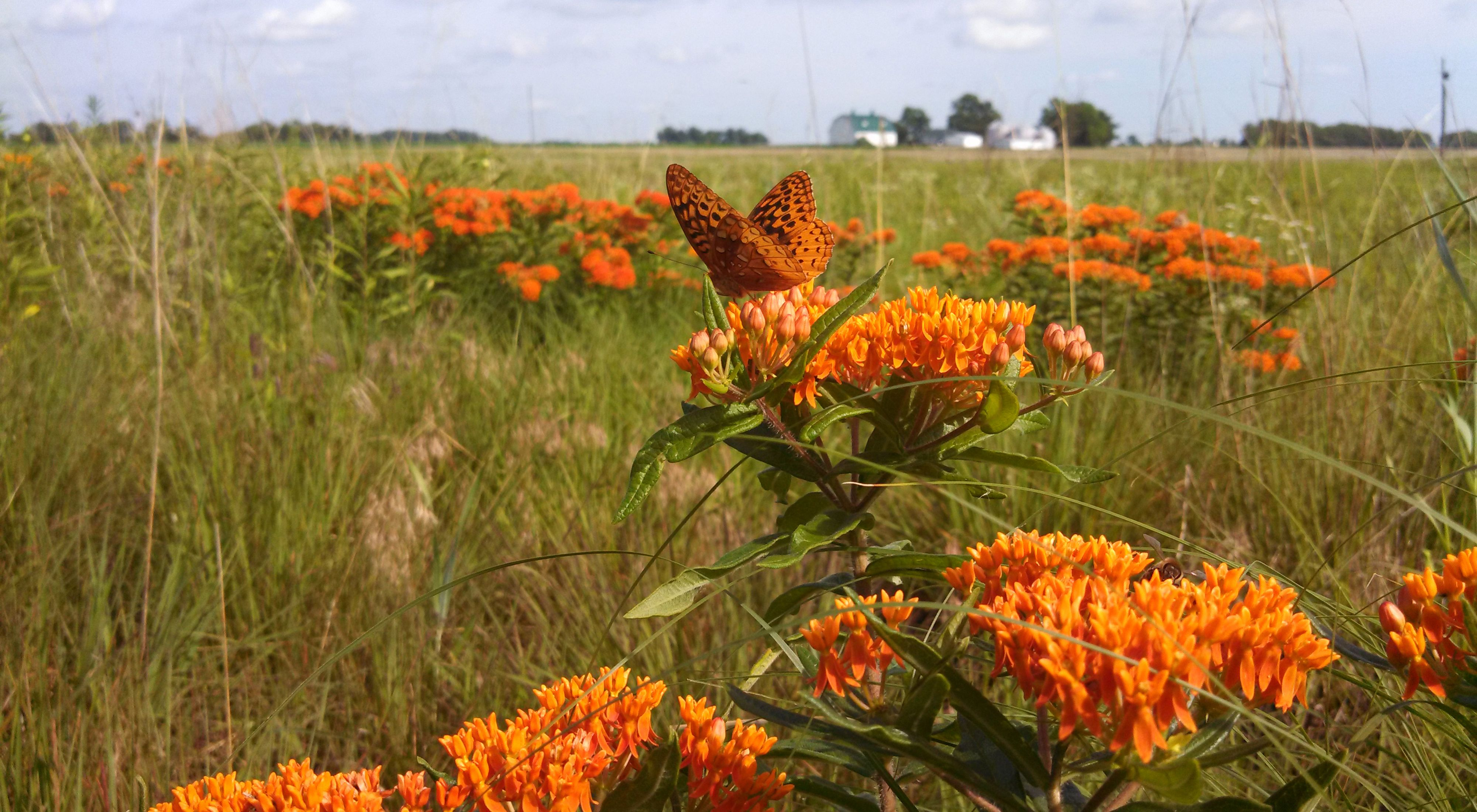 Great spangled fritillary on butterfly weed at Holley Savanna.