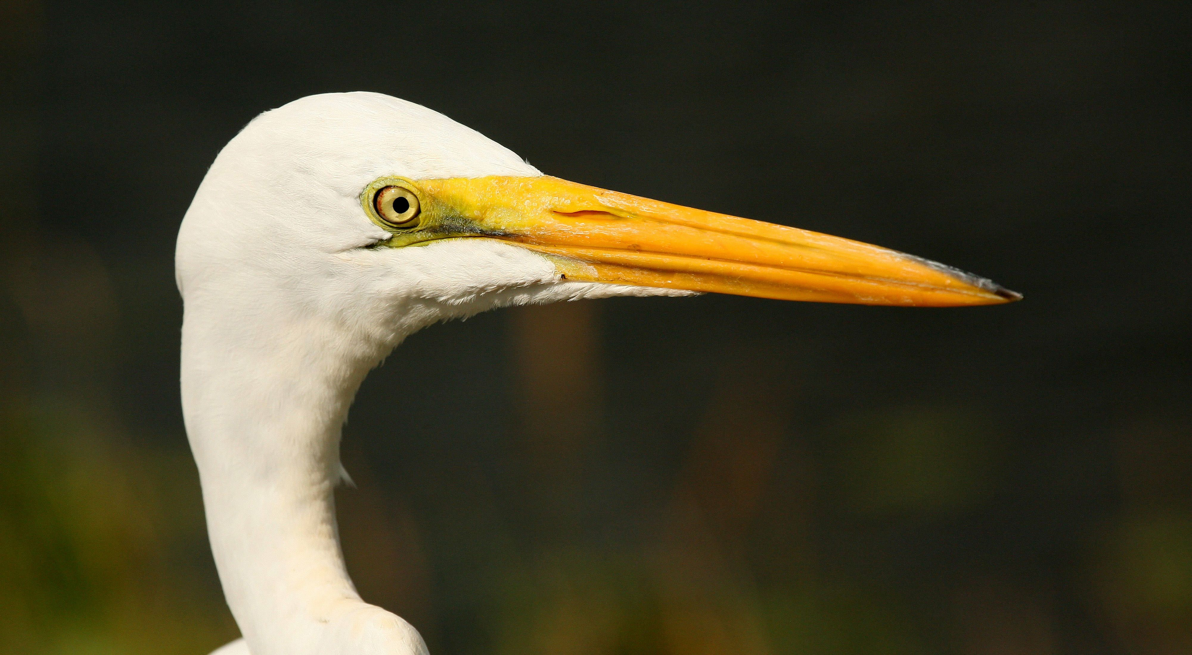A great egret's migratory range includes both the Tiger Creek and Apalachicola Bluffs & Ravines Preserves