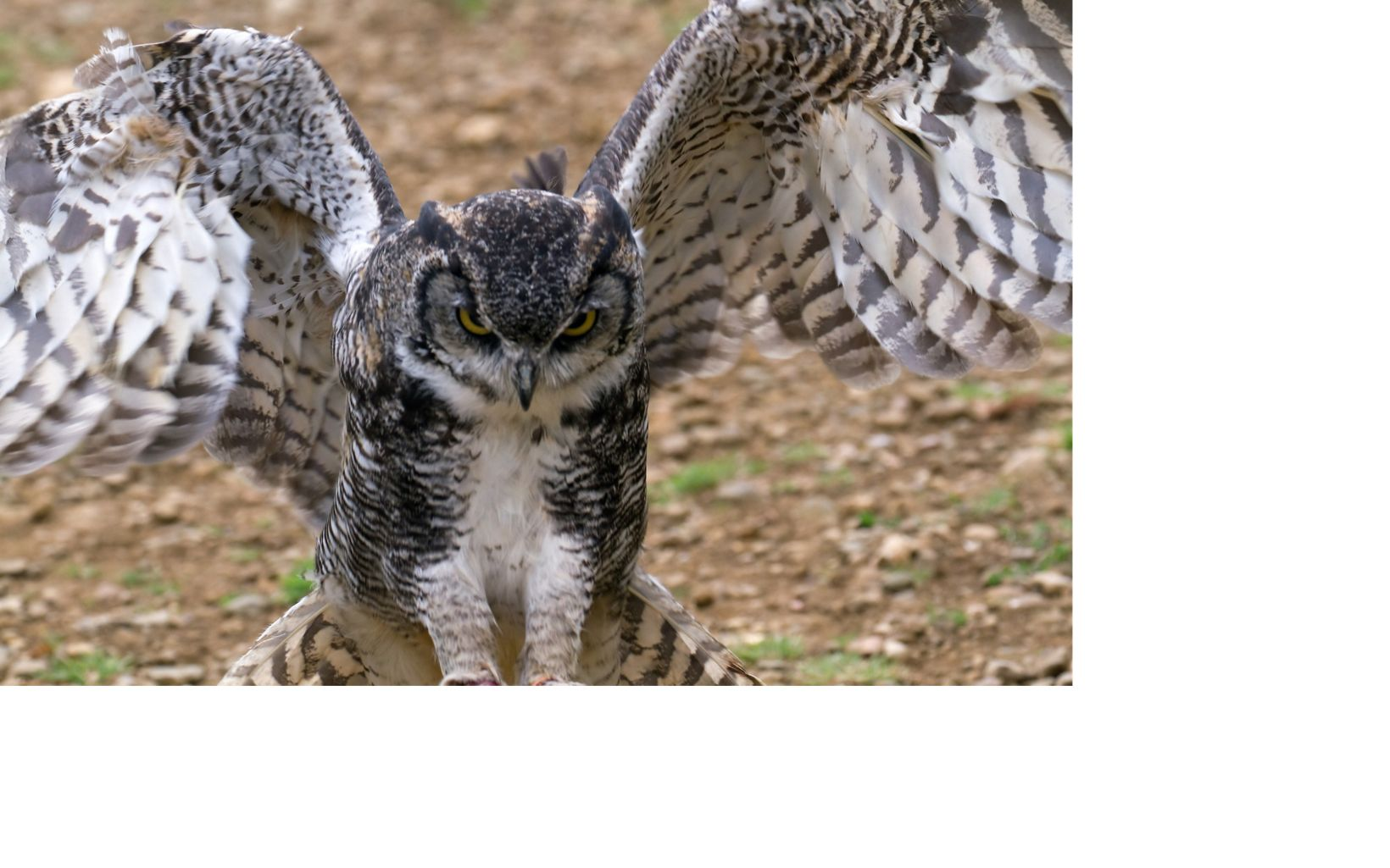 great horned owl with wings spread about to take flight