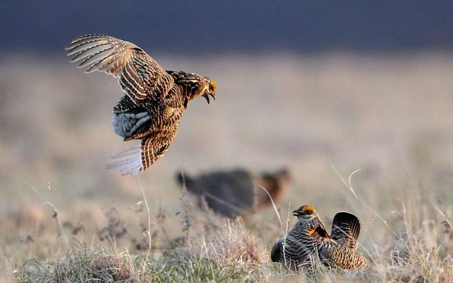 Two greater prairie chickens in a courtship battle in grasslands. One is in the air with his head turned towards the other, beak open. The other is on the ground.
