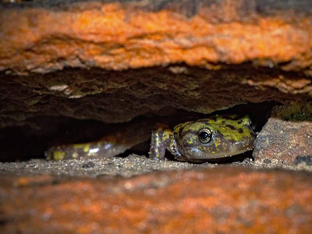 The salamander's face that is bright green with brown speckles peeks out from between two orange rocks.
