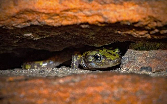 The head of a salamander peeks out from between two orange rocks.