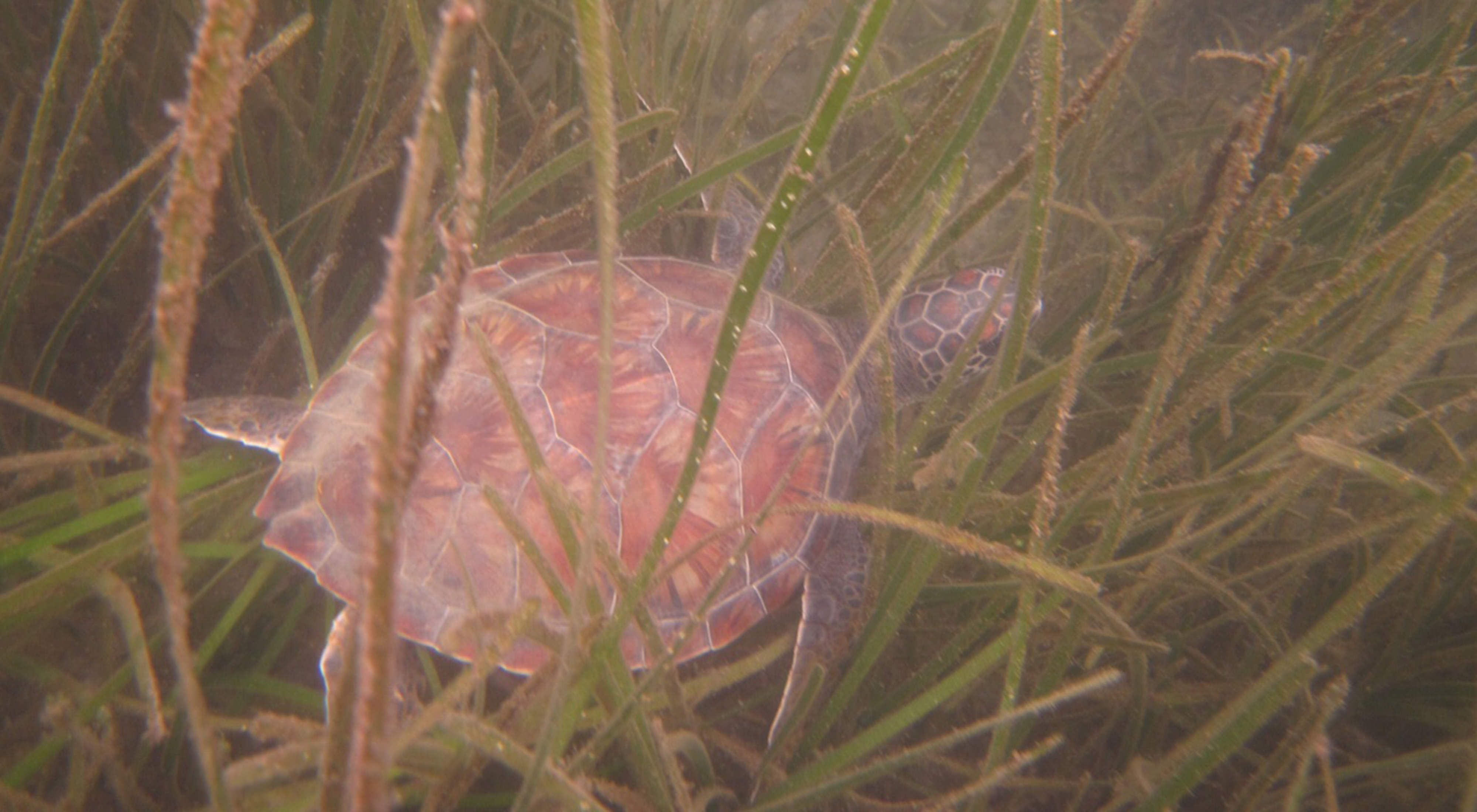 turtle in seagrass