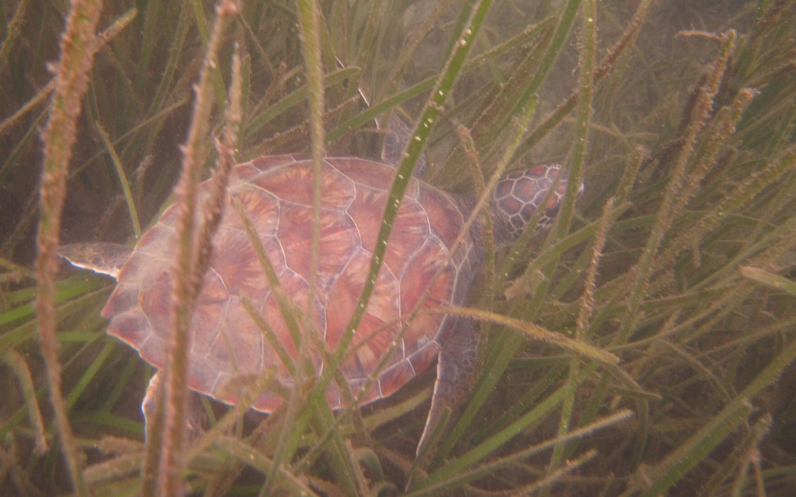 a brown turtle surrounded by seagrasses