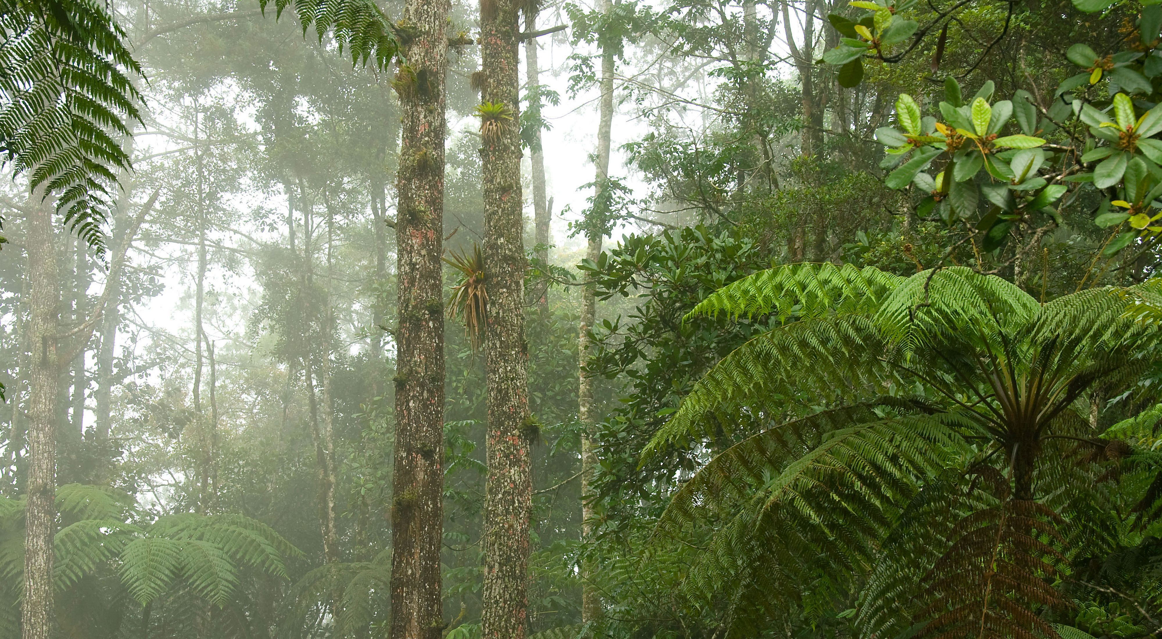Tree ferns and bromeliads decorate the cloud forest in the Sacj  Private Reserve in central Guatemala. The Conservancy works with the Private Natural Reserve Association to strengthen management and information sharing in the conservation network to which Sacj  belongs.