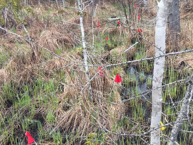 Eleven metal rods with red flags are planted throughout out a wetland with a few small scattered conifer trees