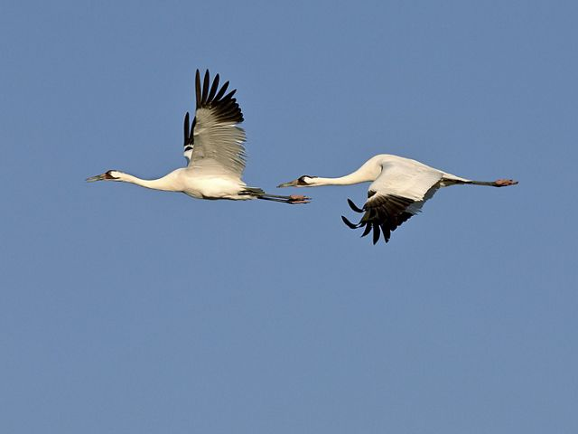 Whooping cranes flying over the Joseph H. Williams Tallgrass Prairie Preserve in Oklahoma.