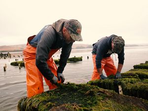 Two men wearing baseball caps and orange water waders stand in shallow water bent over cages used in farming oysters.