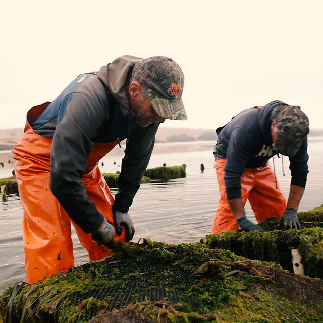 Workers at Hog Island Oyster Farm in Marshall, CA on Tomales Bay.