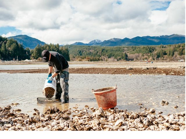 A man in shallow water pours oyster shells from a bucket.
