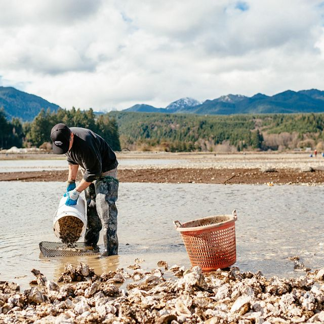 A man on a rocky beach dumping oyster seed from a bucket into a cage.