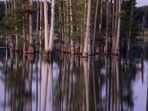 Thick tree trunks emerge from a calm creek.